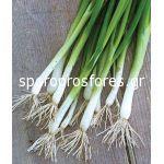 Green onion white Lisbon