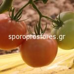 Tomatoes Alice F1