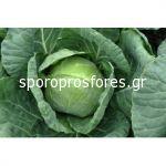 Cabbage Balbro (Balbro F1)