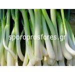 Onion Green Long White Ishikura