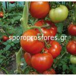 Tomatoes Benatar F1 (Lycopersicum esculentum Mill)
