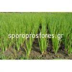 Green Onions Savel F1