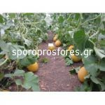Melons Fluvanna (Fluvia F1)