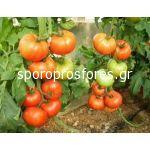 Tomatoes Attilio F1 (Lycopersicon esculentum)
