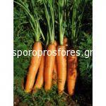 Carrots Bilbo (Bilbo F1)