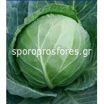 Cabbage Blue Jays F1