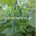 Cucumbers gherkins Karteyo F1