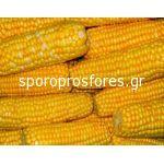 Corn Rep. 509