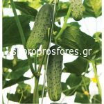 Cucumbers gherkins Excelsior F1