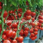 Tomatoes Fado F1 (Lycopersicum esculentum Mill)
