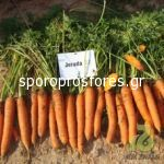 Carrots Jerada (Jerada F1)
