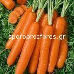 Carrots Coral F1