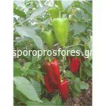 Pepper Zelenika F1