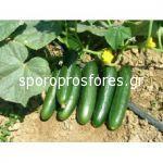 Cucumber Gerlinde F1