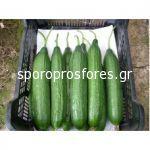 Cucumber Cuarzo F1