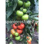 Tomatoes Eurasia F1