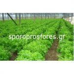 Salad Begona (Atraxion)