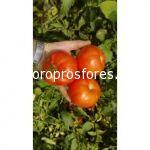 Tomatoes Benal F1
