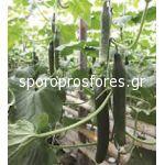 Cucumber Bomber F1