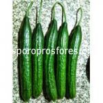 Cucumber Golia F1