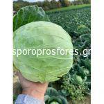 Cabbage Conqueror F1