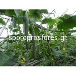 Cucumber Denali F1 - Spoetnik