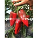 Pepper Balcanica F1