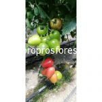 Tomatoes Kongo F1