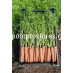 Carrots Newhall F1