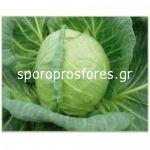 Cabbage Pushma F1