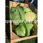 Cabbage Ranini F1