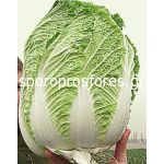 Chinese Cabbage Richi F1
