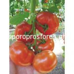 Tomatoes Signora F1