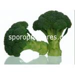 Broccoli Spiridon F1