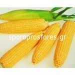 Sweet Corn Testy Sweet F1