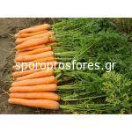 Carrots Tino F1