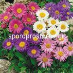 Seeds Flowers Aster Alpinus Mixture
