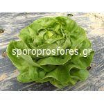 Salad  Lobela F1