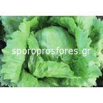 Iceberg Salad David F1