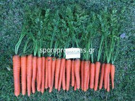 Carrots Senator F1