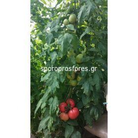 Tomatoes HTP-11 F1