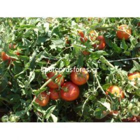 Tomatoes Alliance