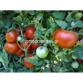 Tomatoes Faidra F1