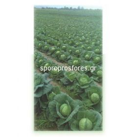 Cabbage Delight Ball F1