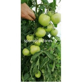 Tomatoes Gusto Pink F1