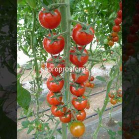 Tomatoes Shiren F1