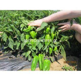 Pepper Elephant's Ear (Slonovo UVO)