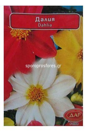 Dahlia (Dar)